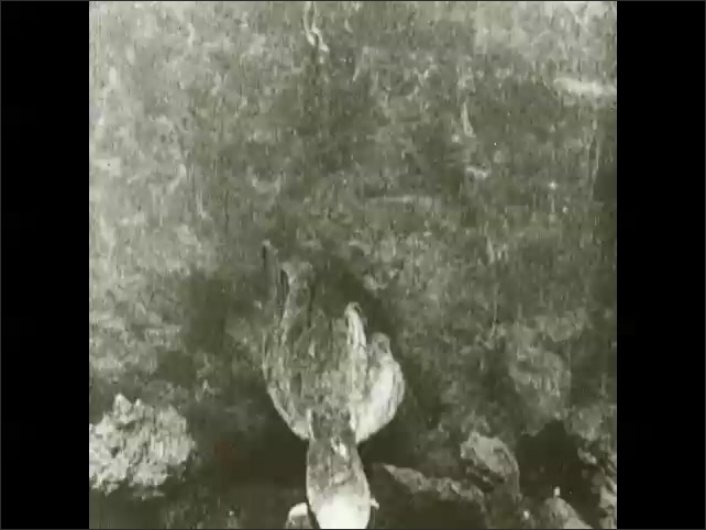1930s: Octopus chases crab.