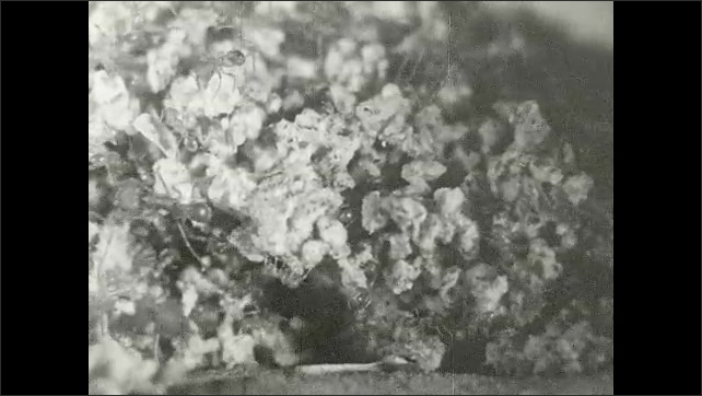 1930s: Ants crawl around on plant and in hole.