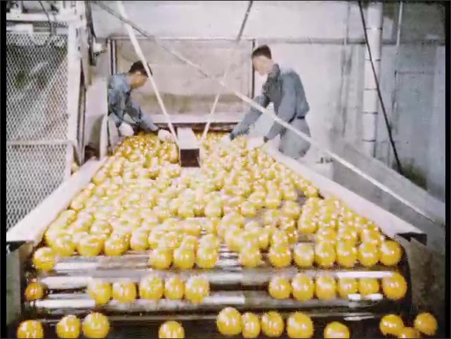 1950s: Oranges move on conveyor belt and pass through water sprays. Two workers check oranges on conveyor belt. Man oversees machine that loads oranges into fitted cups and presses the juice.