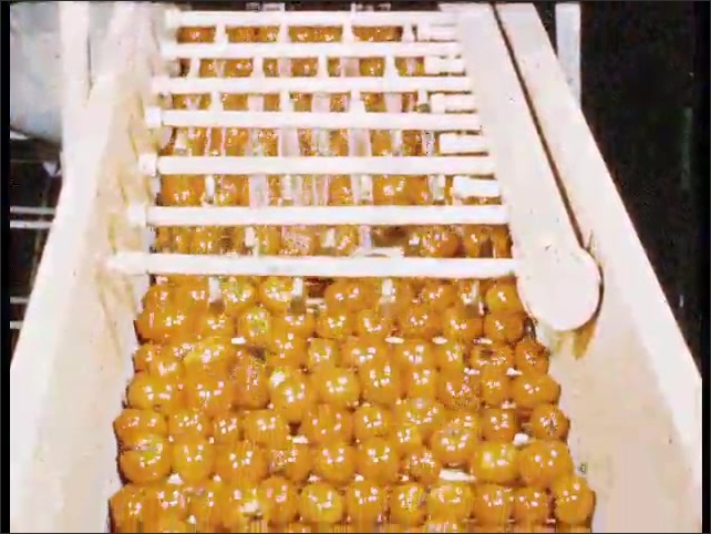 1950s: Water falls inside trough with tomatoes and flows. Tomatoes move on conveyor belt. Worker inspects tomatoes on conveyor belt.