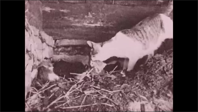 1930s: UNITED STATES: cat adopts skunk. Cat with kittens. Cat washes kittens. Cat mother cares for kittens and skunks