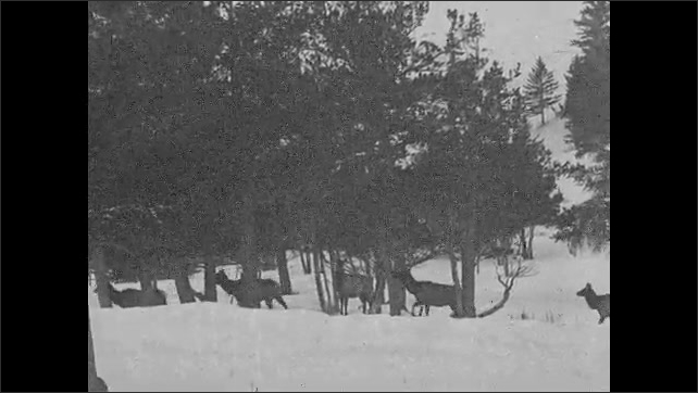 1930s: UNITED STATES: elk follow each other through woods. Elk on mountain side. Elk digs at ground