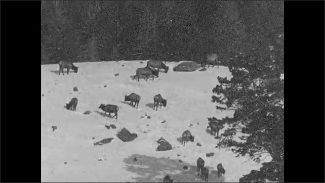 1930s: UNITED STATES: Elk walk up mountain side. Elk search for food on slope. Elk graze in snow.
