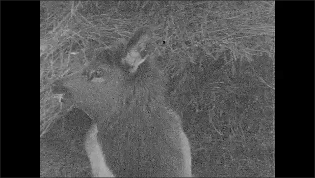 1930s: UNITED STATES: young elk eats farmer's hay stack. Young elk sits on ground.