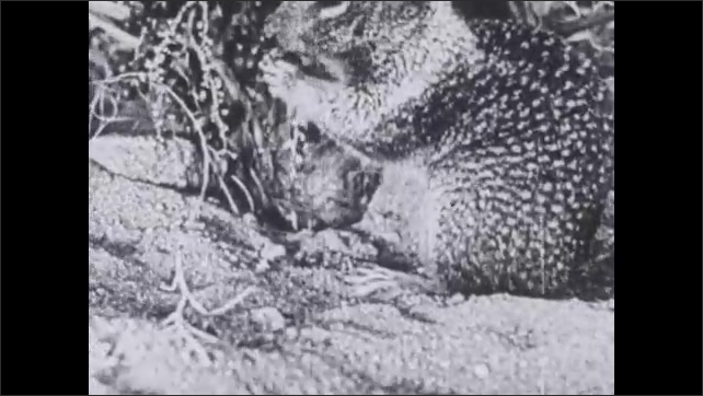 1930s: UNITED STATES: Rattlesnake searches for breakfast. Snake moves across ground. Ground squirrel eating.