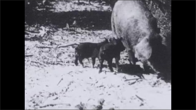 1930s: UNITED STATES: pig defends piglets from snake. Pig attacks snake