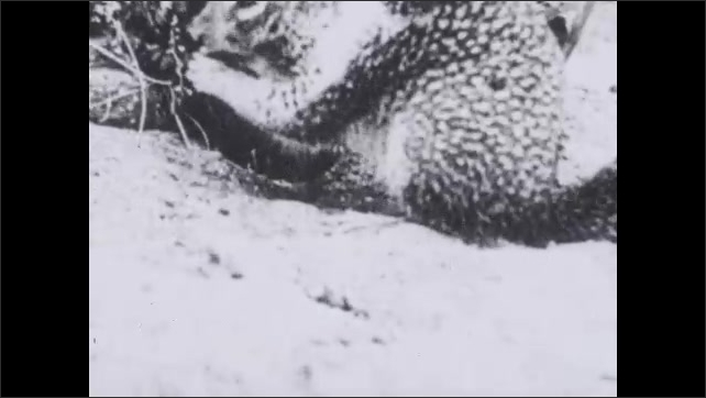 1930s: UNITED STATES: ground squirrel eats food.