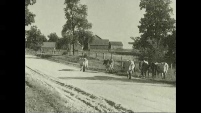 1930s: Boy herds cows through gate, closes gate, climbs over gate. Cows walking down road. Cows next to pond.