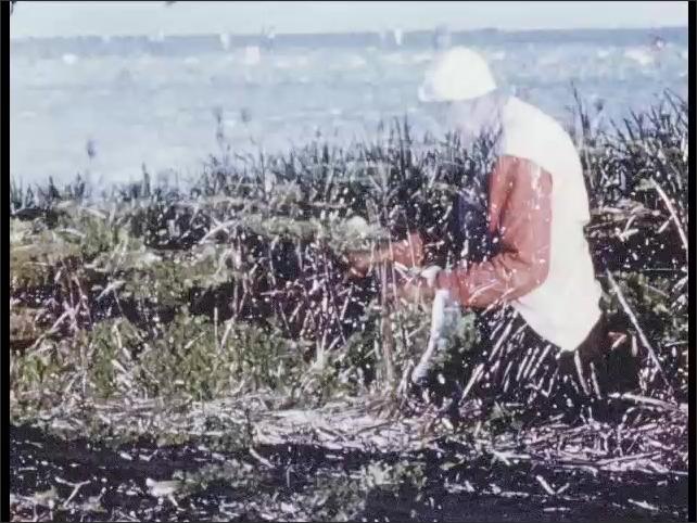 1950s: Farmers pick lettuce in fields. Man walks by sugar cane field. Giant machine harvests canes.