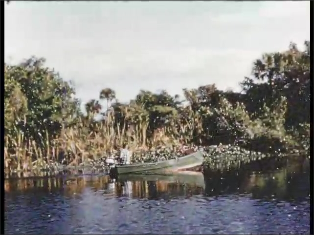 1950s: Man pulls caught fish into boat. Wind flag flaps on boat. Man goes through swamp in motor boat. Man fishes from boat.