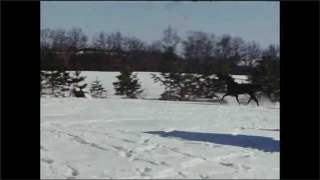 1940s: A black horse runs around in the snow, trees in the background. The horse gallops to the fence and stops. Horse runs around the fence.