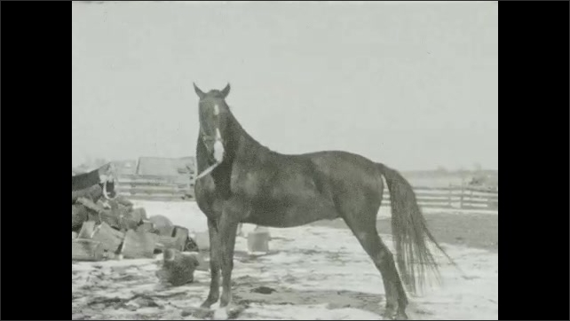 1940s: Man trains horse, they walk as man holds the reins. Horse stands still while a hand holds reins. Man trains a horse. Man pats horse next to stable, man pulls reins and trains horse.