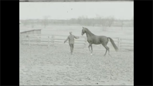 1940s: Man holds reins and the horse stands still. Man with a coat and hat stands in the doorway. Man pulls horse, the horse moves abruptly and stops, man trains a horse while another man watches.