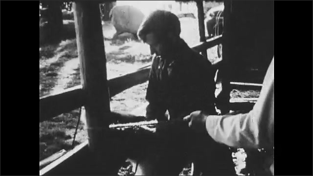 1970s: Cow struggles as farmer dehorns it in barn. Farmer holds down cow.