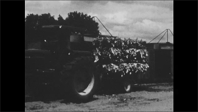 1970s: Tractor loaded with tobacco leaf bundles. Bundles is loaded into container.