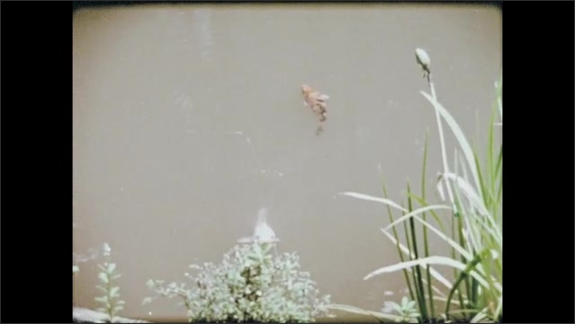 1970s: Birds drink from fountain outside of the Kinkakuji temple. Koi fish swim in pond with lily pads.