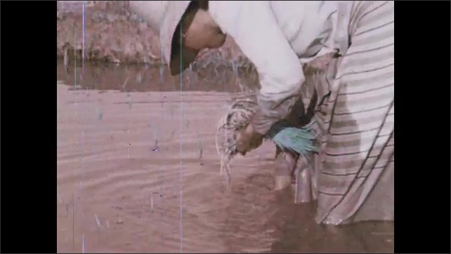 1970s: Man sows rice in paddy. Woman plants rice shoots in muddy water. Farmers plow rice paddy with water buffalo.