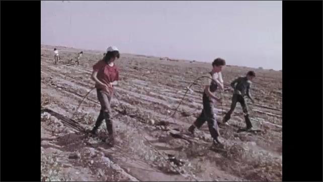 1970s: Man working in crop field. People working in crop field. People working in field of crops. Tomatoes are dumped into tank in factory then onto conveyor belt.