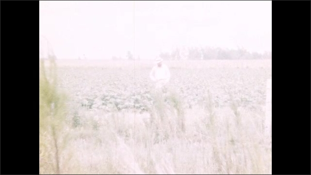 1950s: UNITED STATES: view across farm land and fields. Man stands in field. Man picks crops. Lady waves at camera. Man chops plants