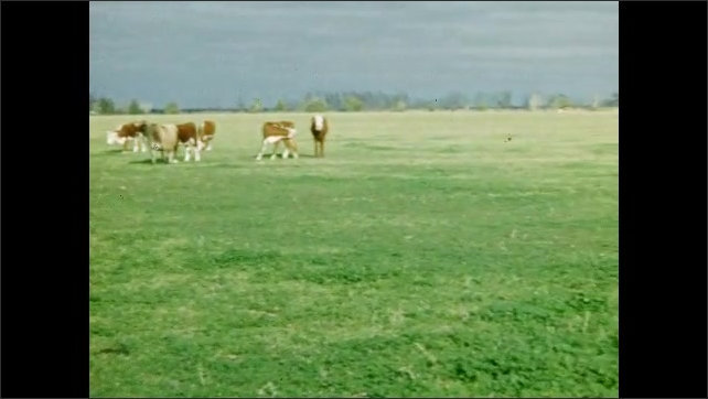 1950s: UNITED STATES: brown and white cows eat grass in field. Cow walks across field. Herd of cows on farm. Goat eats grass.