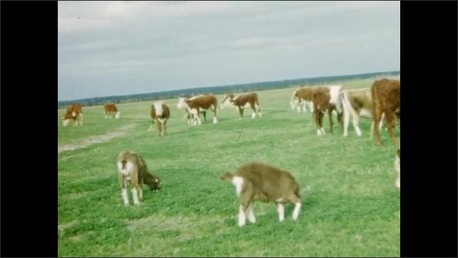 1950s: UNITED STATES: cow looks ta camera. Brown and white cows in field. Goats and cows in field.