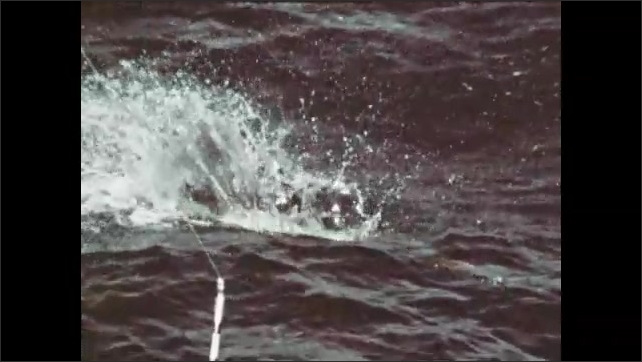 1970s: Fish is dragged through water. Fish jumps out of water. Fishing reel.