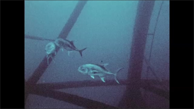 1950s: a diver follows a stingray with a camera, small group of fish swim together underneath an oil rig