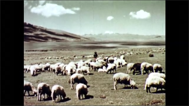 1960s: A herd of alpacas walks. Herd of sheep and a shepherd walk next to a stream. Person and a herd of sheep in a field with mountains in background. Shepherd walks behind herd of sheep in a field.