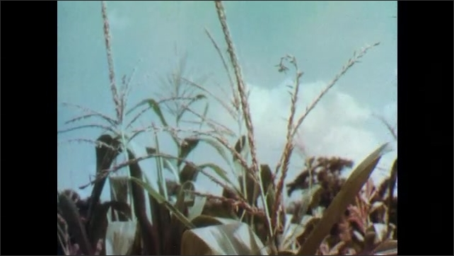 1960s: UNITED STATES: plants grow in field against blue sky. Rear view of man driving tractor. Deadly weed in field