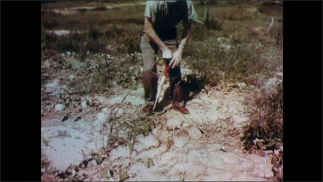 1960s: UNITED STATES: red witch weed in field around crops. Man digs soil with shovel. Nematode destroys roots of crop.