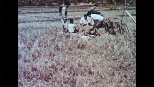 1960s: PHILIPPINES: child works in paddy field. Family trample and beat rice grains from leaves in paddy field