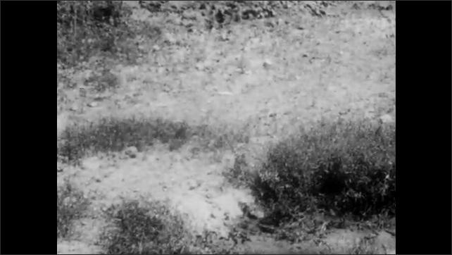 1940s: Warthogs runs around zoo enclosure. Warthog sits down in dirt, stands up, runs away.  Words, pygmy hippopotamus, Africa.