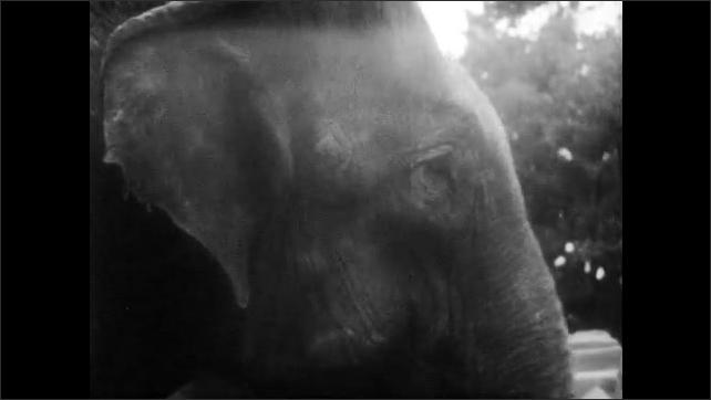 1940s: Elephant moves head around.