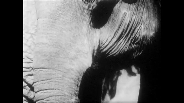 1940s: Elephant moves around enclosure, looks around. Man stands next to elephant, hits elephants trunk to keep its mouth open, man looks in mouth.