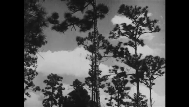 1940s: New growth forest. Kids walk passed trees. Tall trees stand against sky.