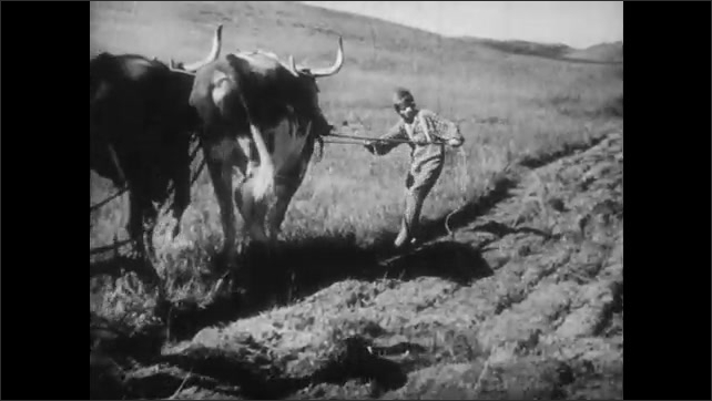 1940s: Woman and girl watch man peel ear of corn on stalk, girl smiles, they all walk through corn field. Boy holds reins, pulls bulls through field, man pushes tiller attached to back of bulls.