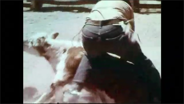 1970s: Cowboys wrestle roped calf to the ground. Cowboy struggles to throw jumping calf to ground. Cowboy ties legs of calf.
