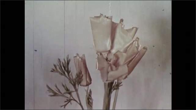 1950s: Time-lapse of poppy growing. Poppy opens, closes several times, then the petals fall off.