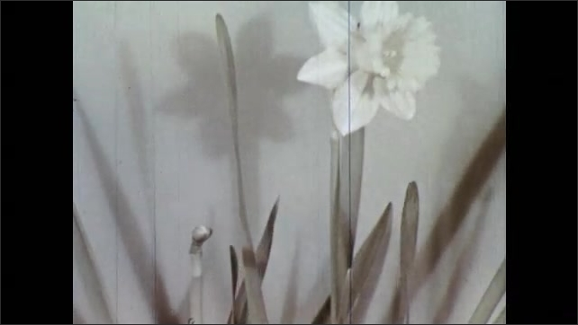1950s: Time lapse of daffodil growing. Leaves sway as plant grows. Another daffodil grows.