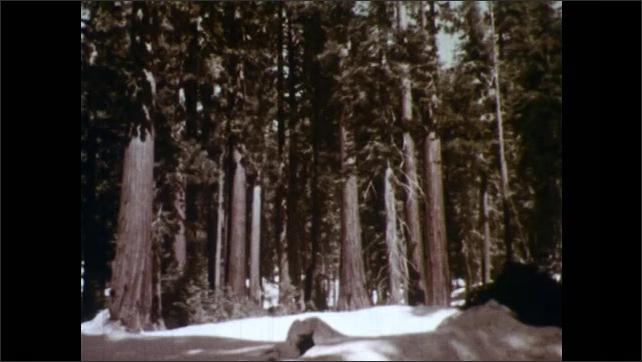 1950s: Evergreen forest. Another view of trees. Large redwood tree.