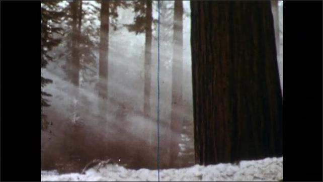 1950s: Light streams through trees in evergreen redwood forest. Light streams through more trees.
