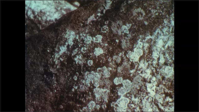 1960s: UNITED STATES: lichens on rock. Algae and fungus on rocks. Photosynthesis in lichens. Magnifying glass over lichens