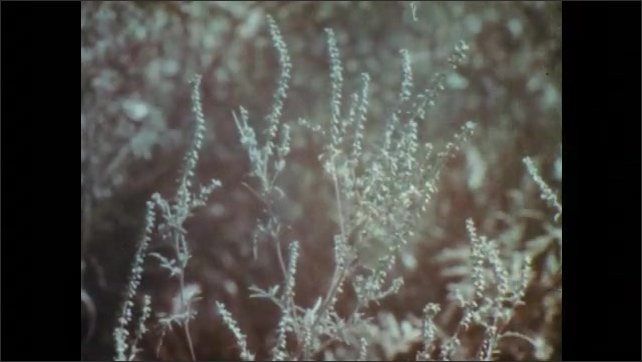 1960s: UNITED STATES: Overgrown track through woods. Weeds in garden. Close up of annual and perennial weeds. View across weeds