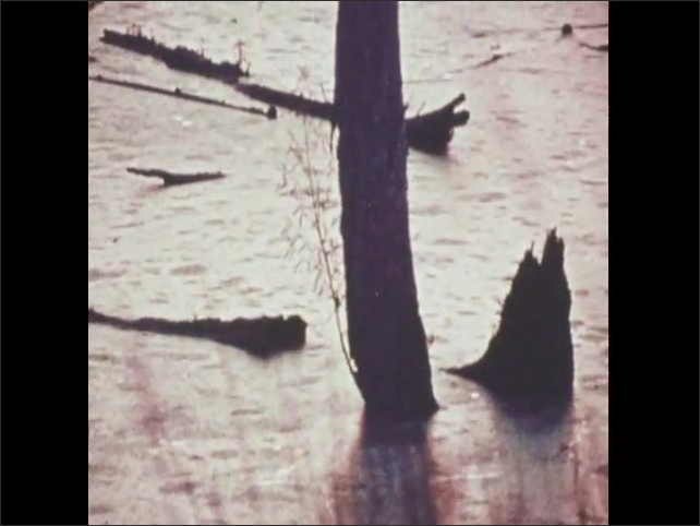 1970s: Green algae covers lake. Frogs in lake. Dead trees and plants in lake.