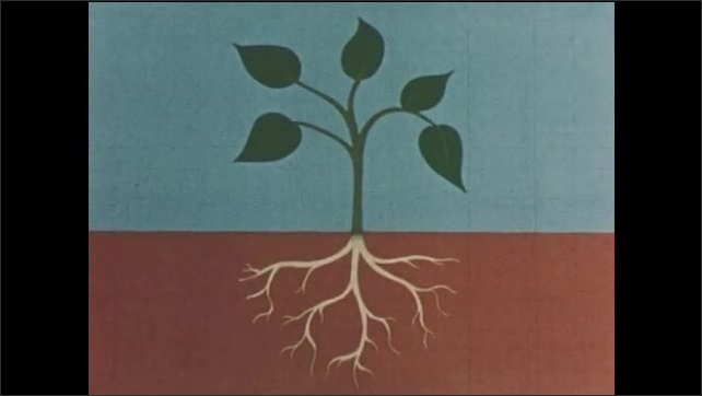 1950s: UNITED STATES: drawing of weed. Leaves on plant. Roots on plant. Plant moves in air