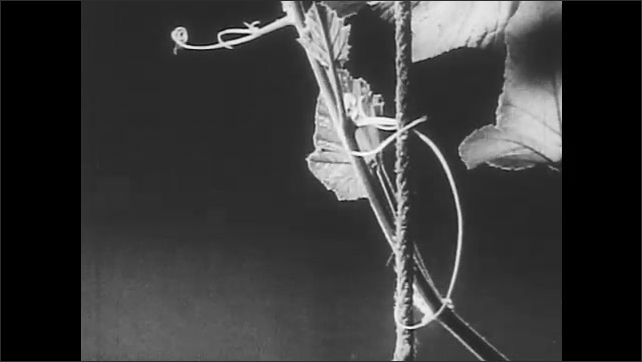 1950s: Hands hold metal plate that is tied to wire and put weights on it. The wire breaks, the metal plate and weights fall. Plant grows around a pole in time-lapse photography.
