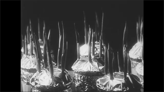 1950s: Lily of the valley grows through tin foil. Several lily of the valleys grow from pots wrapped in tin foil in time-lapse photography. Tree trunk in the woods.