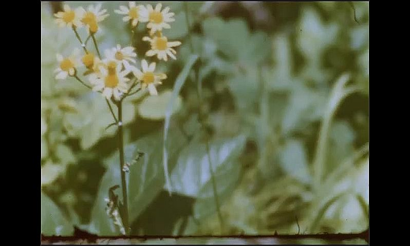 1950s: UNITED STATES: white mountain flowers. Daisy flowers. Grasses in mountain.