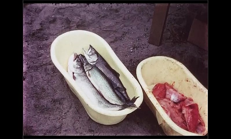 1970s: CANADA: fish in tray. Caught fish in trays. Man holds up fish for camera.