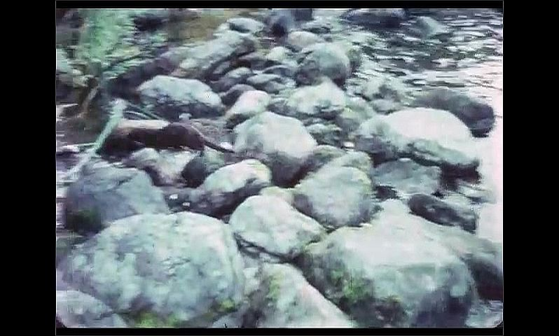 1970s: CANADA: otter runs across rocks. Otter steals fish from river side. Otter on riverbank.